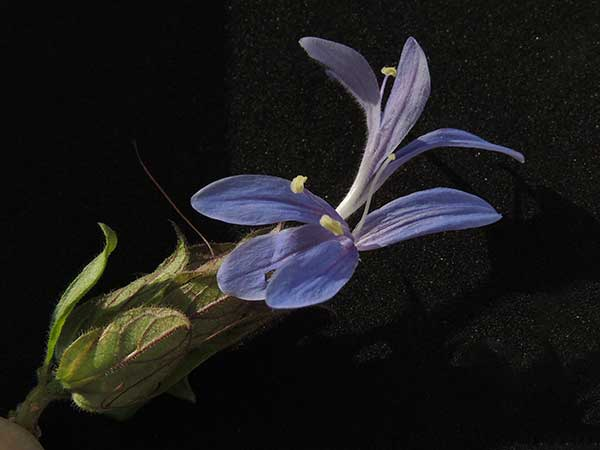 Acanthaceae, possibly Justicia sp., from Voi, Kenya, photo © by Michael Plagens