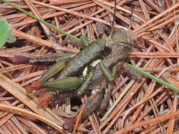 male and female green grasshopper with femur ends, f. Acrididae, Kenya, photo © by Michael Plagens
