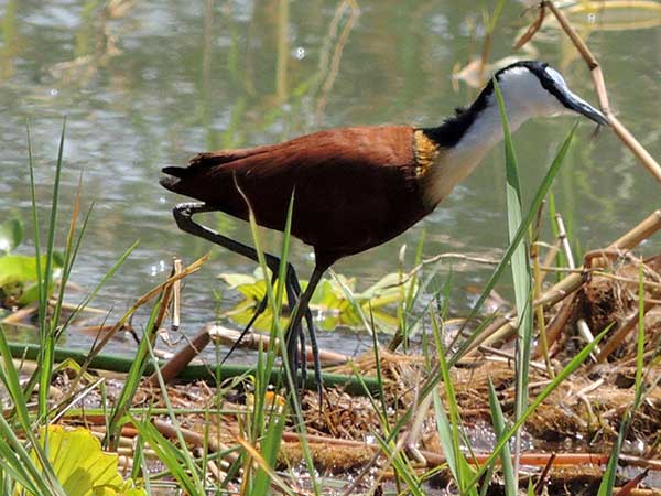 African Jacana, Actophilornis africanus, photo © by Michael Plagens