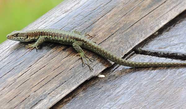 Adolfus jacksoni, Jackson's Forest Lizard, photo © by Michael Plagens