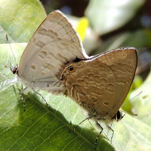 mating pair of Anthene, lycaenid butterfly from Nairobi, Kenya,  Photo © by Michael Plagens