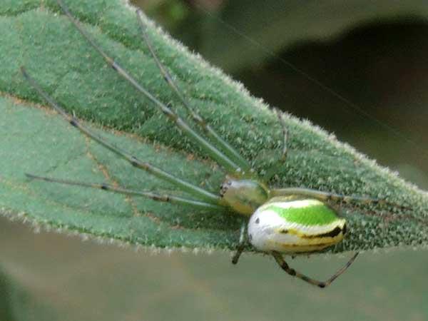 an Araneidae, Kenya. Photo © by Michael Plagens