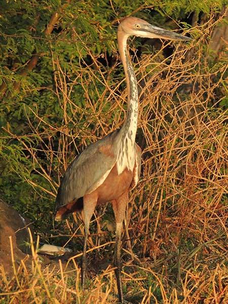 Goliath Heron, Ardea goliath, photo © by Michael Plagens