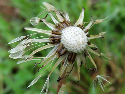 seeds and inflorescence of a Taraxicum or other Asteraceae, Taita Hills, Kenya, photo © by Michael Plagens