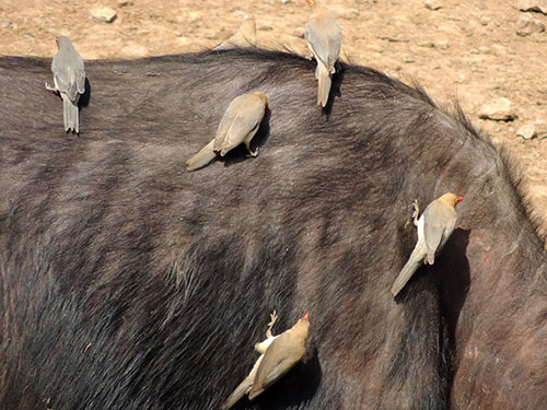 Red-billed Oxpecker, Buphagus erythrorhynchus, photo © by Michael Plagens