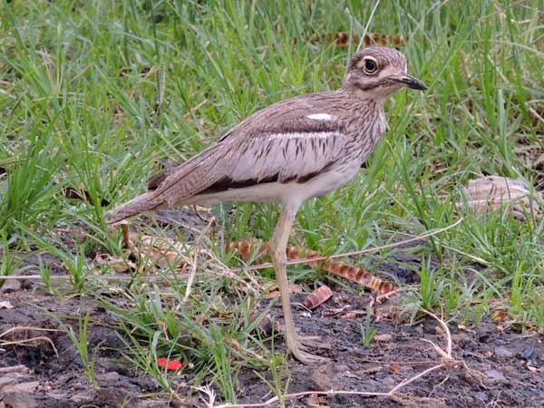 Water Thick-knee, Burhinus vermiculatus, photo © by Michael Plagens