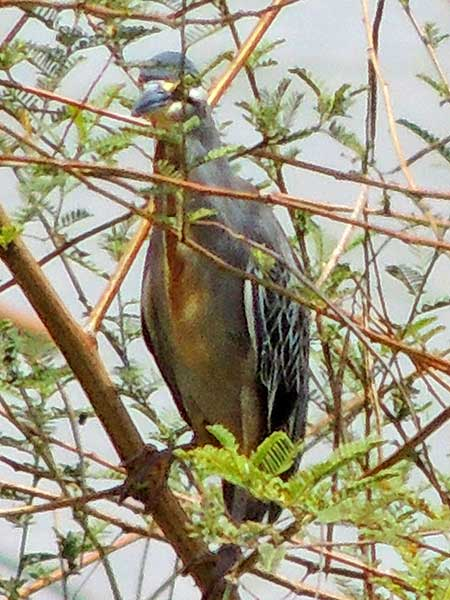 Striated Heron, Butorides striata, photo © by Michael Plagens