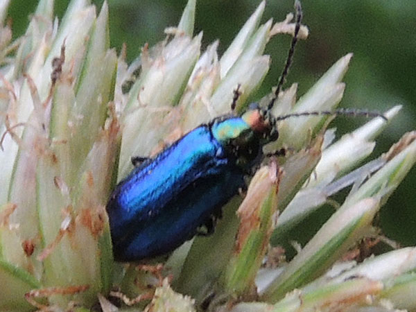 a Chrysomelidae in s.f. Galerucinae, from Mt. Kenya Forest, Kenya, photo © by Michael Plagens