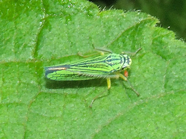 a Pavonia sharpshooter leafhopper, Cicadelidae, from Mt. Kenya Forest, Kenya. Photo © by Michael Plagens