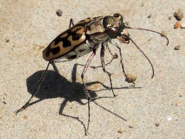 Lorphya, Carabidae, at Baringo, Kenya, photo © by Michael Plagens