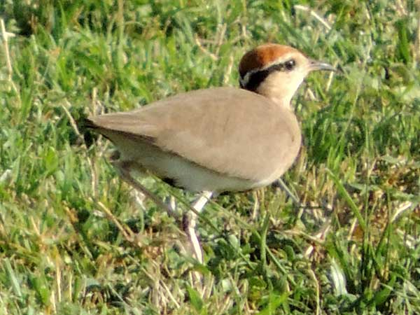 Temminck's Courser, Cursorius temminckii, photo © by Michael Plagens.
