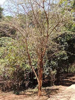 Habit of Dalbergia melanoxylon, Kenya, photo © by Michael Plagens