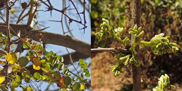 Dalbergia melanoxylon, Kenya, photo © by Michael Plagens