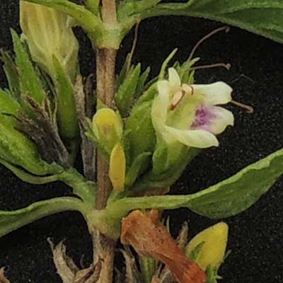 Acanthaceae, possibly Duosperma sp., from Voi, Kenya, photo © by Michael Plagens