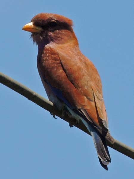 Broad-billed Roller, Eurystomus glaucurus, photo © by Michael Plagens.