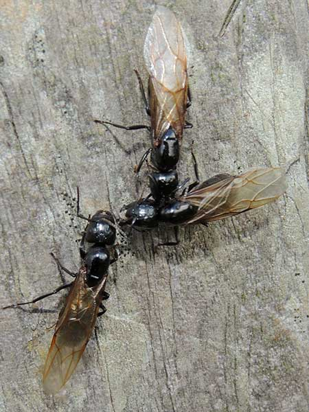 a Carpenter ant, Camponotus, from Kakamega, Kenya, photo © by Michael Plagens