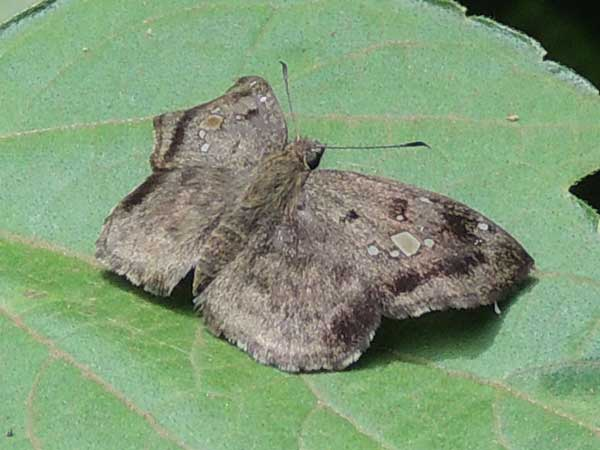 felty gray skipper, Eretis busmba, from Kakamega, Kenya. Photo © by Michael Plagens