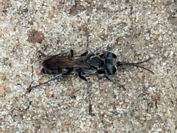 cockroach hunter Wasp, Tachysphex, Kenya. Photo © by Michael Plagens