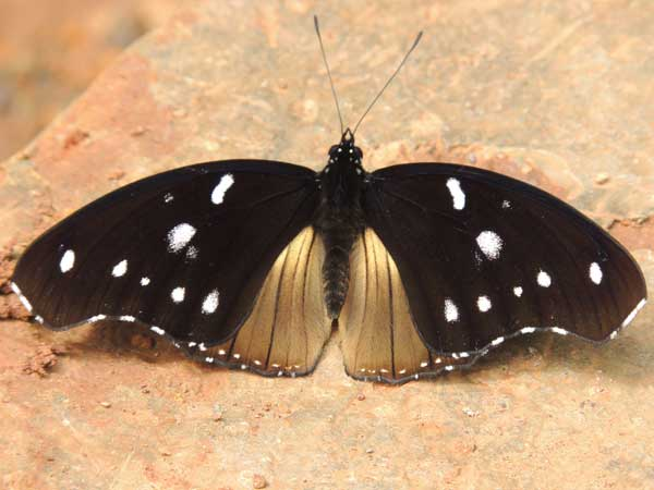Large Variable Diade, Hypolimnas dinarcha, Kakamega Forest, Kenya. Photo © by Michael Plagens