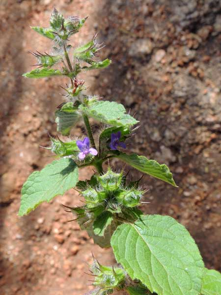 Plectranthus sp. from Voi, Kenya, photo © by Michael Plagens