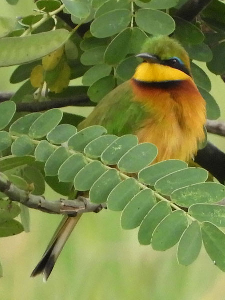 Little Bee-eater, Merops pusillus, photo © by Michael Plagens