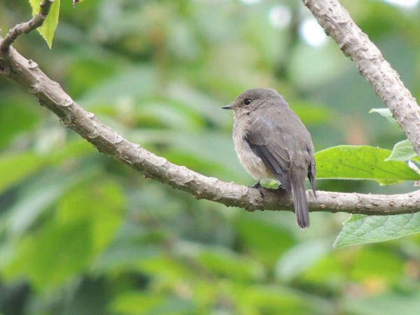 African Grey Flycatcher, Muscicapa adusta, photo © by Michael Plagens