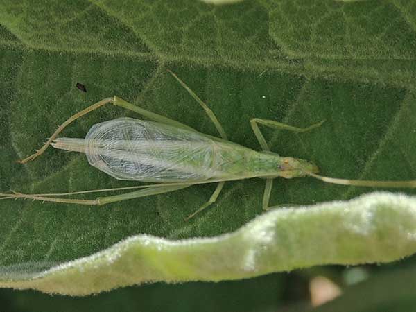 a tree cricket, subfamily Oecanthinae, from Taita Hills, Kenya, photo © by Michael Plagens