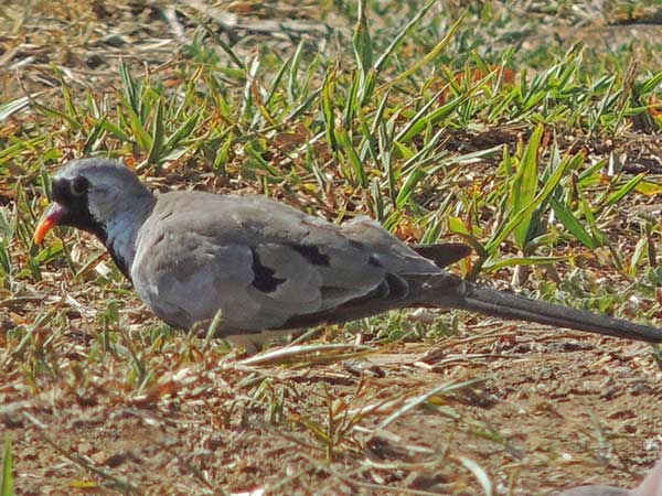 Namaqua Dove, Oena capensis, photo © by Michael Plagens.