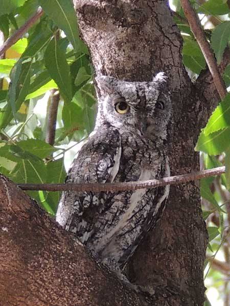 African Scops Owl, Otus senegalensis, photo © by Michael Plagens.