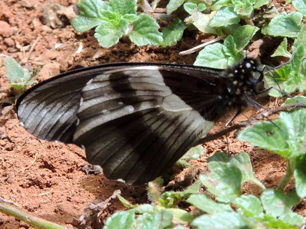 Papilio dardanus observed in Gatamaiyo Forestt, Kenya. Photo © by Michael Plagens