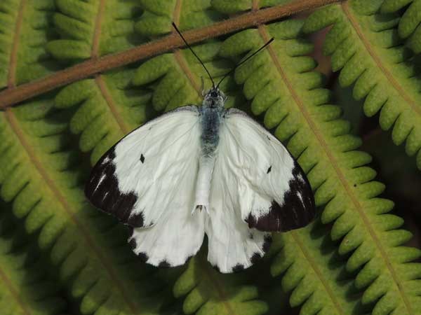 African White, Belenois sp, from Nairobi, Kenya, July 2014. Photo © by Michael Plagens