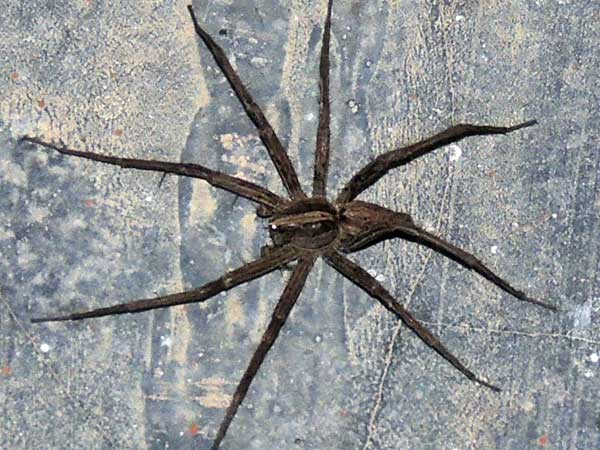 a nursery web spider, Pisauridae, Lake Baringo, Kenya. Photo © by Michael Plagens