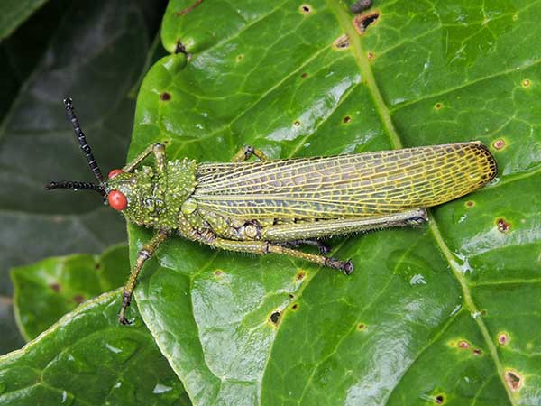 a Pyrgomorphidae grasshopper observed at Taita Hills, Kenya, Oct. 14, 2010. Photo © by Michael Plagens