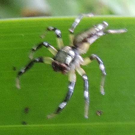 a silvery jumping spider, Salticidae, Kenya. Photo © by Michael Plagens