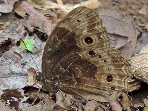 Satyr Butterfly, pssibly Bicyclus dentatus, Mt. Kenya. Photo © by Michael Plagens