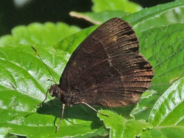 Satyr Butterfly, possibly Bicyclus, Kenya. Photo © by Michael Plagens