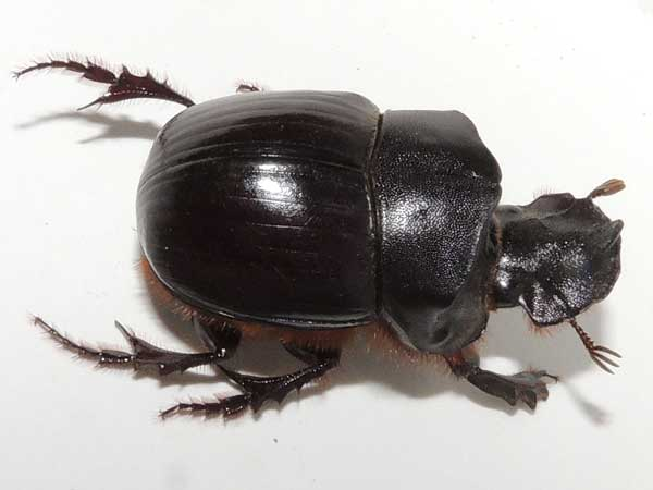 a Copris Dung Beetle from Elementaita, Kenya. Photo © by Michael Plagens