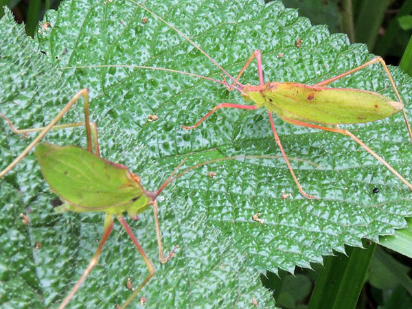 a pair of Katydid, from Mt Kenya Forest, photo © by Michael Plagens