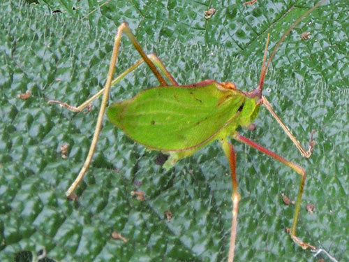 a female Katydid, from Mt Kenya Forest, photo © by Michael Plagens