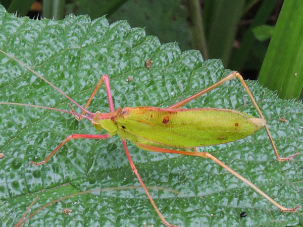 a male Katydid, from Mt Kenya Forest, photo © by Michael Plagens