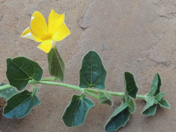 Acanthaceae, possibly Thunbergia paulitschkeana, Kenya, photo © by Michael Plagens