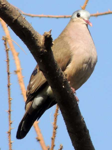 Blue-spotted Wood Dove, Turtur afer, photo © by Michael Plagens.
