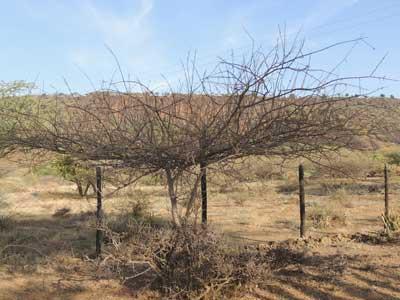 Habit of Vachellia reficiens, False Umbrella Thorn Acacia, Kenya, photo © by Michael Plagens
