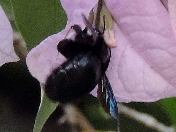 a Carpenter Bee, Xylocopa sp from Kakamega, Kenya, photo © by Michael Plagens