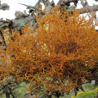 a lichen similar to golden hair lichen, possibly Teloschistes, in Kenya, Africa, photo © Michael Plagens