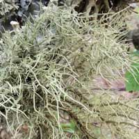 a fruiticose lichen, Usnea, in Kenya, Africa, photo © Michael Plagens