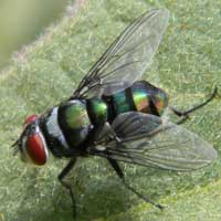 A blow fly, family Calliphoridae, © Michael Plagens