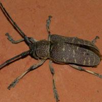 Lamiinae Cerabycidae © Michael Plagens