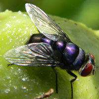 A different blow fly species, family Calliphoridae, © Michael Plagens