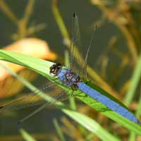A blue Skimmer dragonfly from Naiberi River Camp, Kenya © Michael Plagens